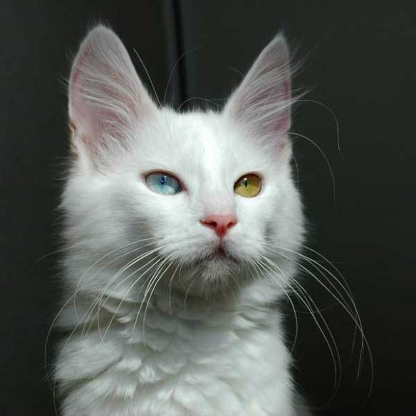 кошка ван кедиси
