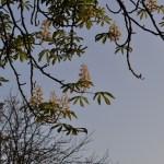 Осенняя весна – в сентябре в Киеве цветут каштаны