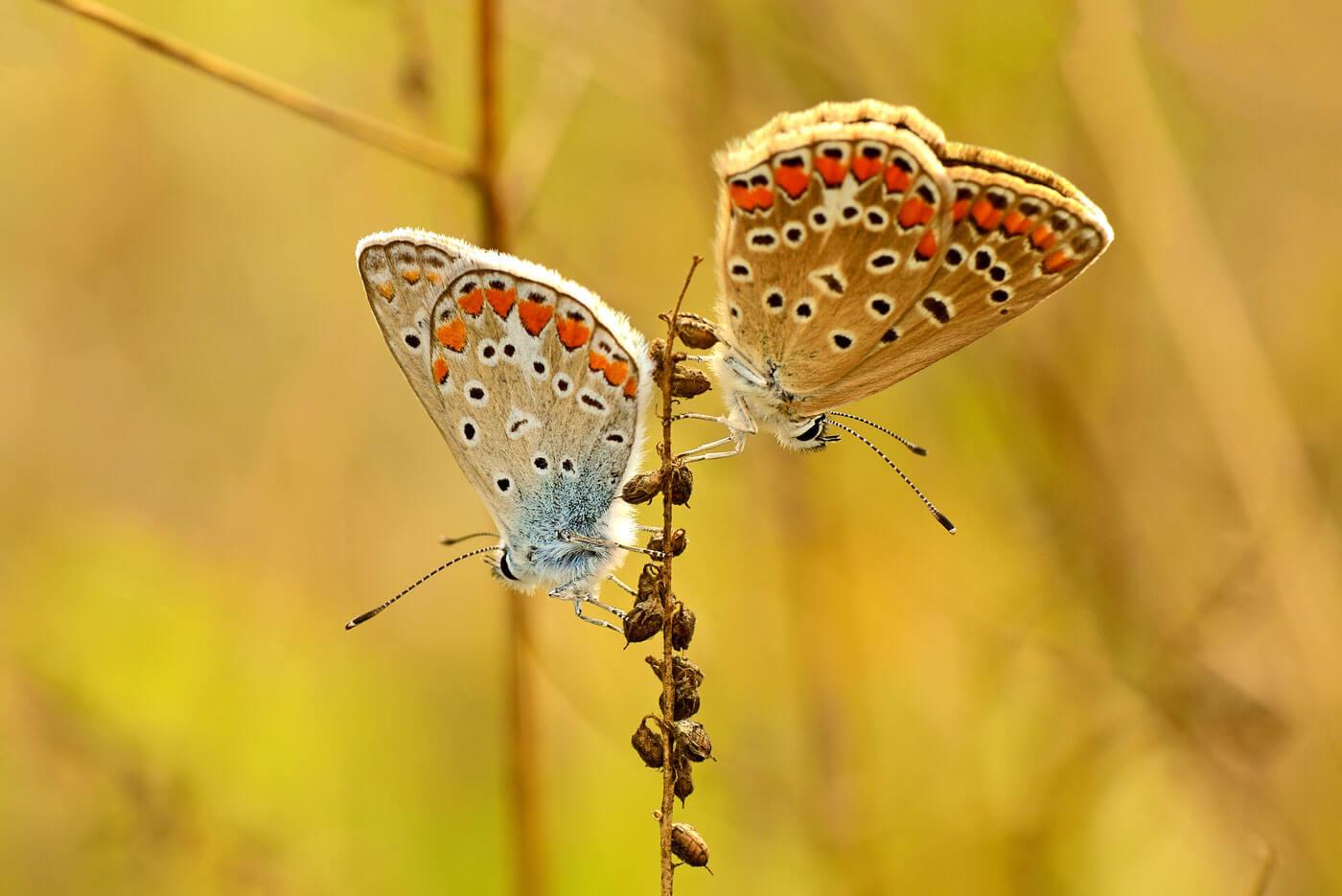 vlinders-albanie