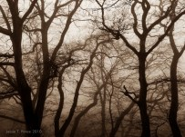 Silhouettes of leafless tree against the fog