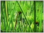 Reeds, Eden Nature Park, Davao City, Philippines 2011