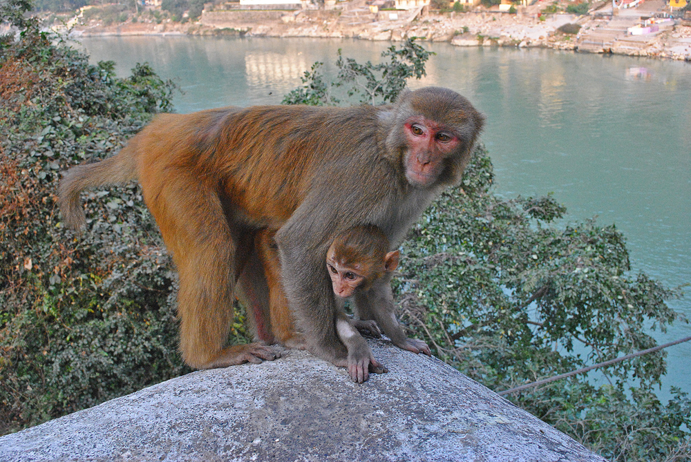 Mother monkey with baby, Ganges River, Rishikesh, Himalayan foothills, Uttarakhand, India, Year of the Monkey