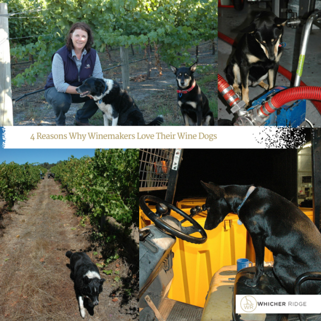 4 Reasons Why Winemakers Love Their Wine Dogs - Cathy Howard Whicher Ridge