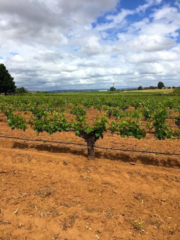 Mann Winery Swan Valley Vines