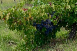Grapes on the Vine - Galafrey Wines