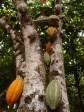 Kakaotræ