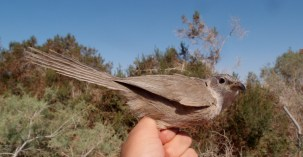 Arabisk larmdrossel eller Arabian babbler - En virkelig sej fugl, specielt når man kigger nærmere på deres adfærd. Disse larmdrosler lever i familieflokke, som er blevet studeret i over 30 år, og man har fundet ud af, at de har en særlig rangorden og nogle fantastiske adfærdsmønstre. Så spændende!!