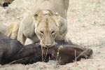 Lions killing and eating a buffalo in Hwange National Park, Zimbabwe.