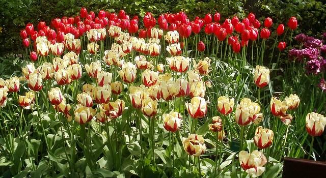 Keukenhof, el jardín de los tulipanes