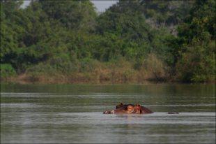 Nilpferde im Black Volta River