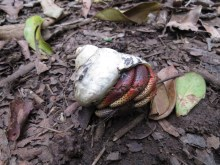 Hermit crab in the wild. Lots of them.