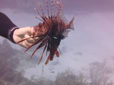 Lionfish are evil