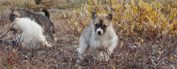 ilulissat-greenland-puppies-icefjord