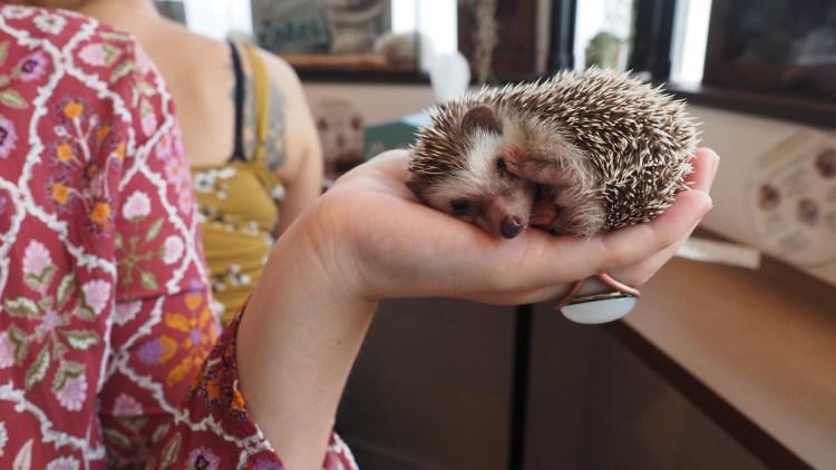 harrys-hedgehog-cafe-tokyo-japan