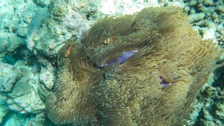 maldives-travel-blog-kandolhu-turtle-underwater-snorkelling