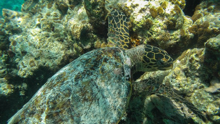 maldives-travel-blog-kandolhu-turtle-underwater-snorkelling
