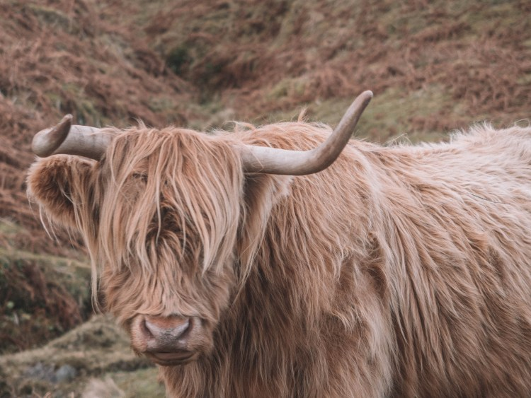 Isle of Skye Travel Blog: Highland Cow