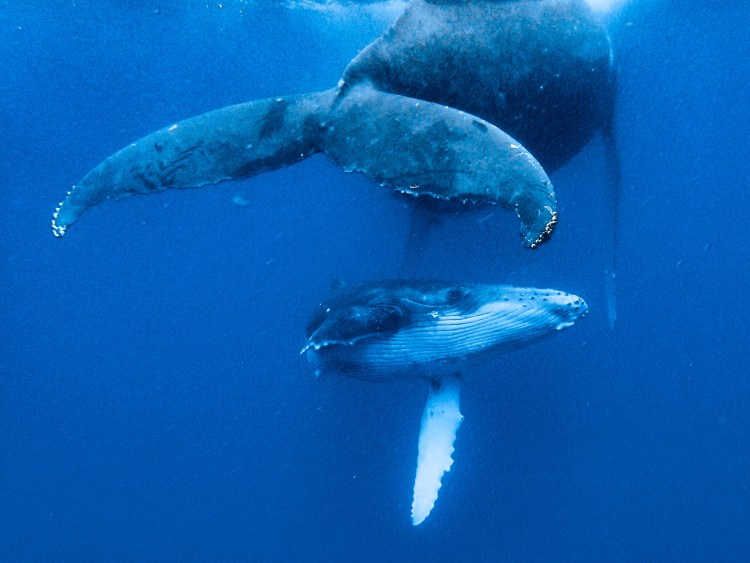 tonga-ha'apai-swimming-humpback-whales-with-sea-change-what-its-like-travel-blog