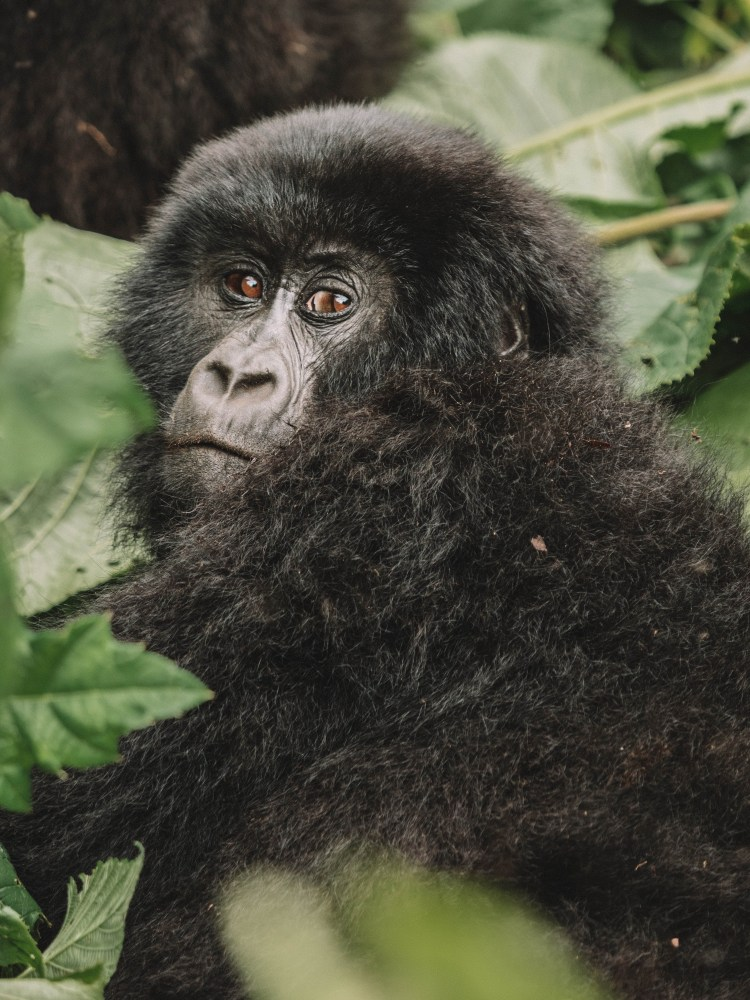 Virunga-Gorillas-Travel-Blog-National-Park-Democratic-Republic-of-Congo-DRC