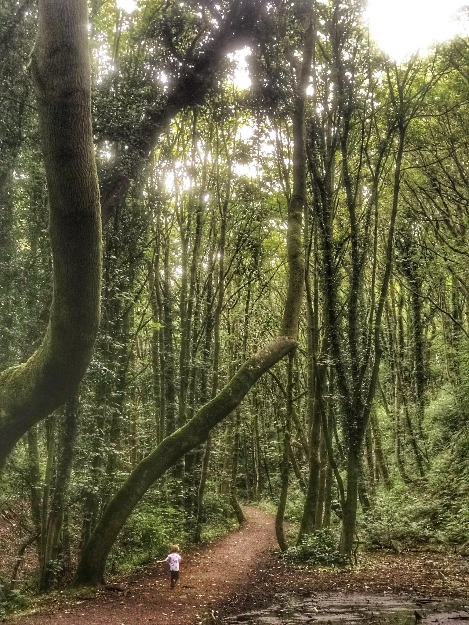Dex walking along a path beneath huge, tall trees in Fairy Glen, Parbold