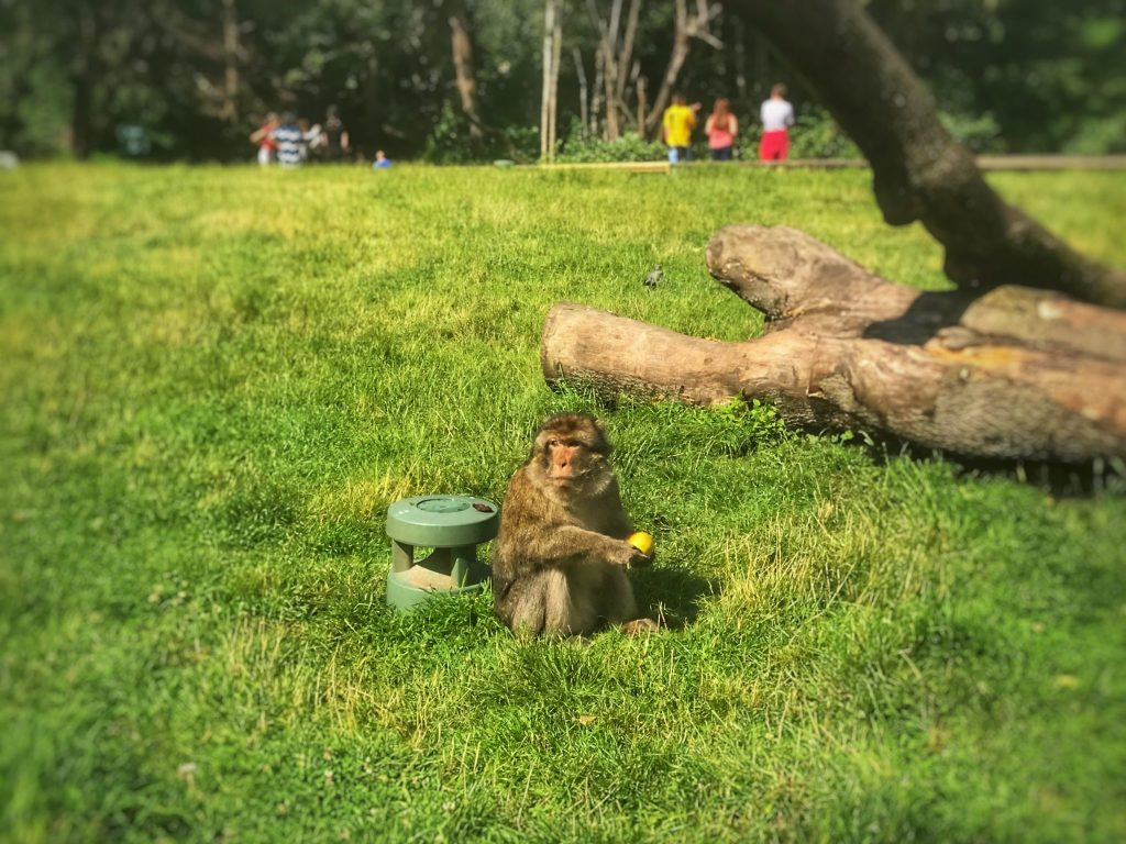 Monkey with an apple in his hand at Trentham Monkey Forest