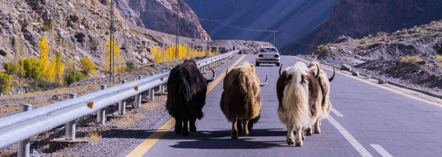 Have You Ever Seen A Himalayan White Yak?