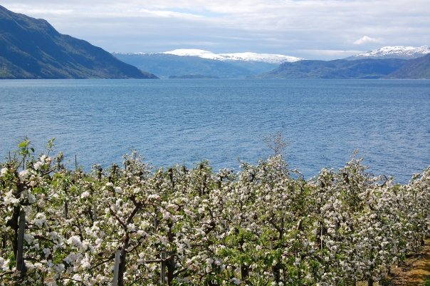 Fruit blossom in Hardanger in Norway