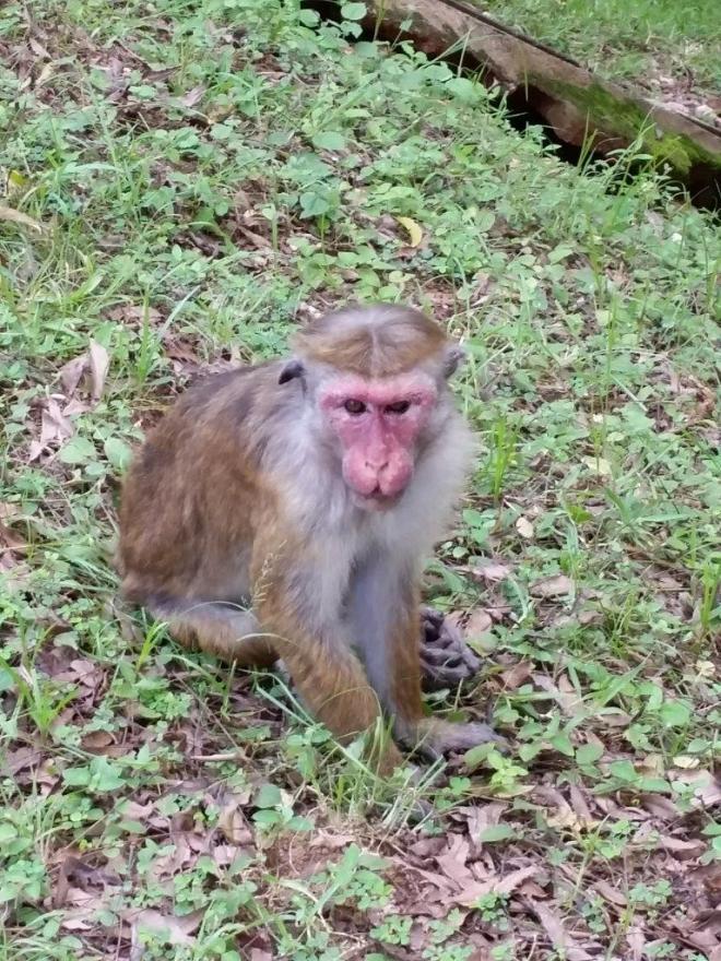 Monkey in Polonnaruwa
