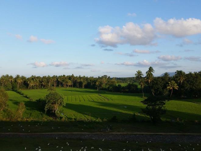 Rice fields by lake Parakrama Samudra in Polonnaruwa