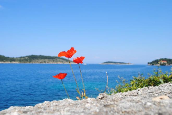 Bright red poppy at Vis Island, Croatia