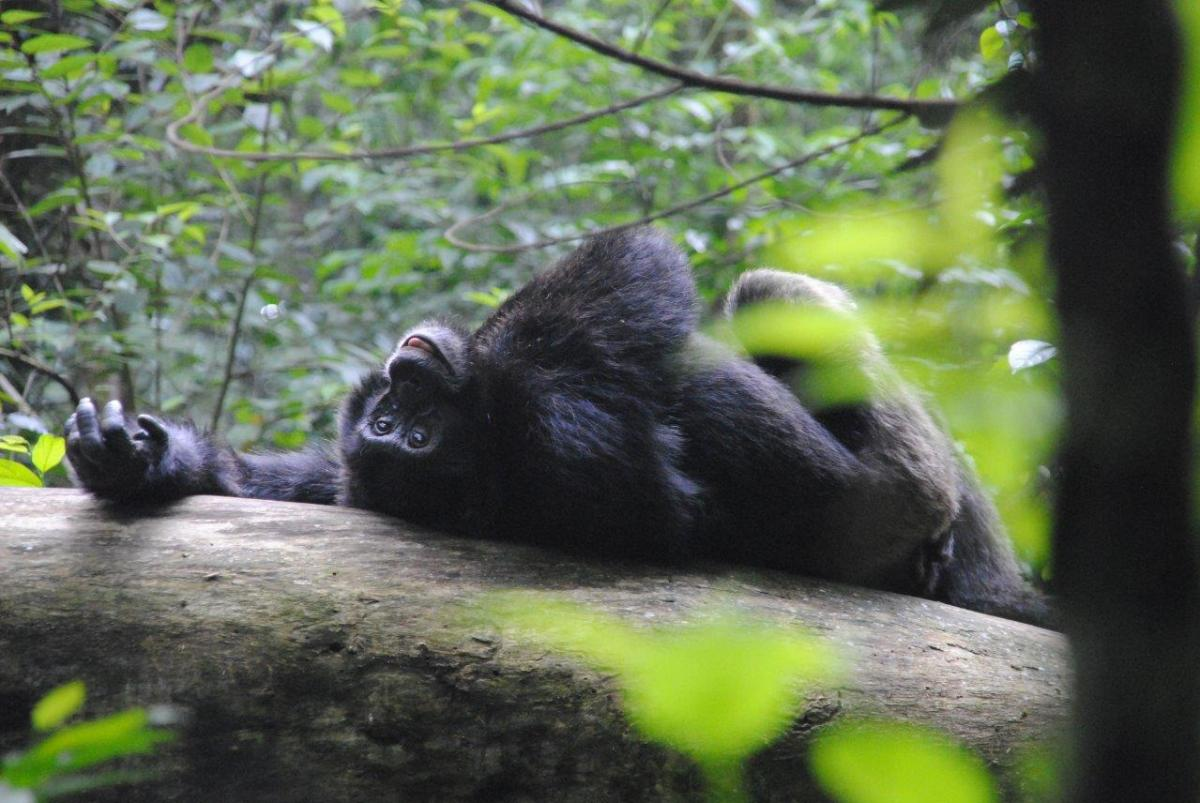 Charming Sseebo posing and flirting. Chimp Tracking in Kibale Forest National Park, Uganda.