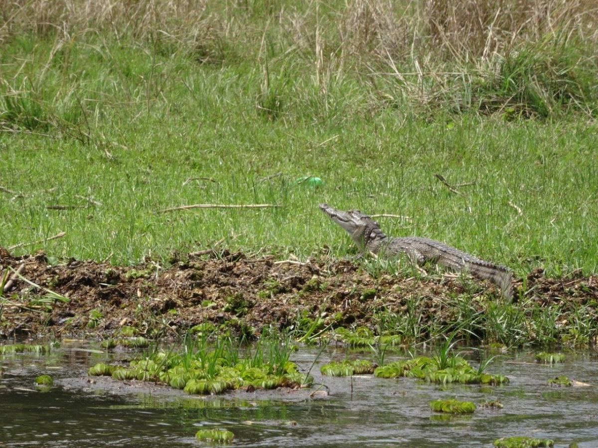 Nile crocodile. Murchison Falls National Park in Uganda Africa