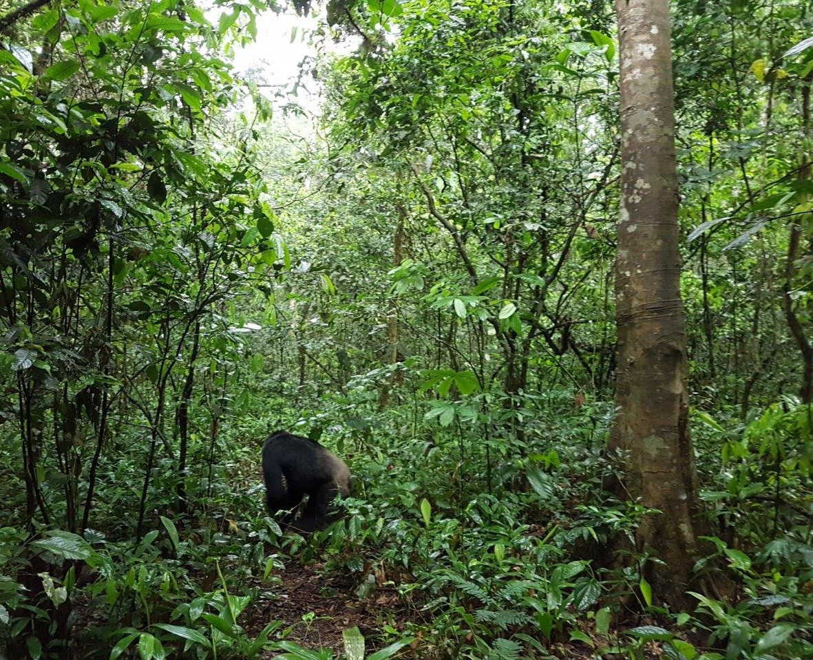 Sseebo sauntering on into the woods. Chimp Tracking in Kibale Forest National Park, Uganda.