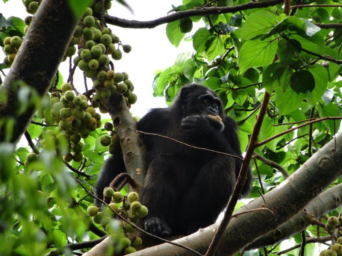 Totti, the new Alpha male. Chimp Tracking in Kibale Forest National Park, Uganda.