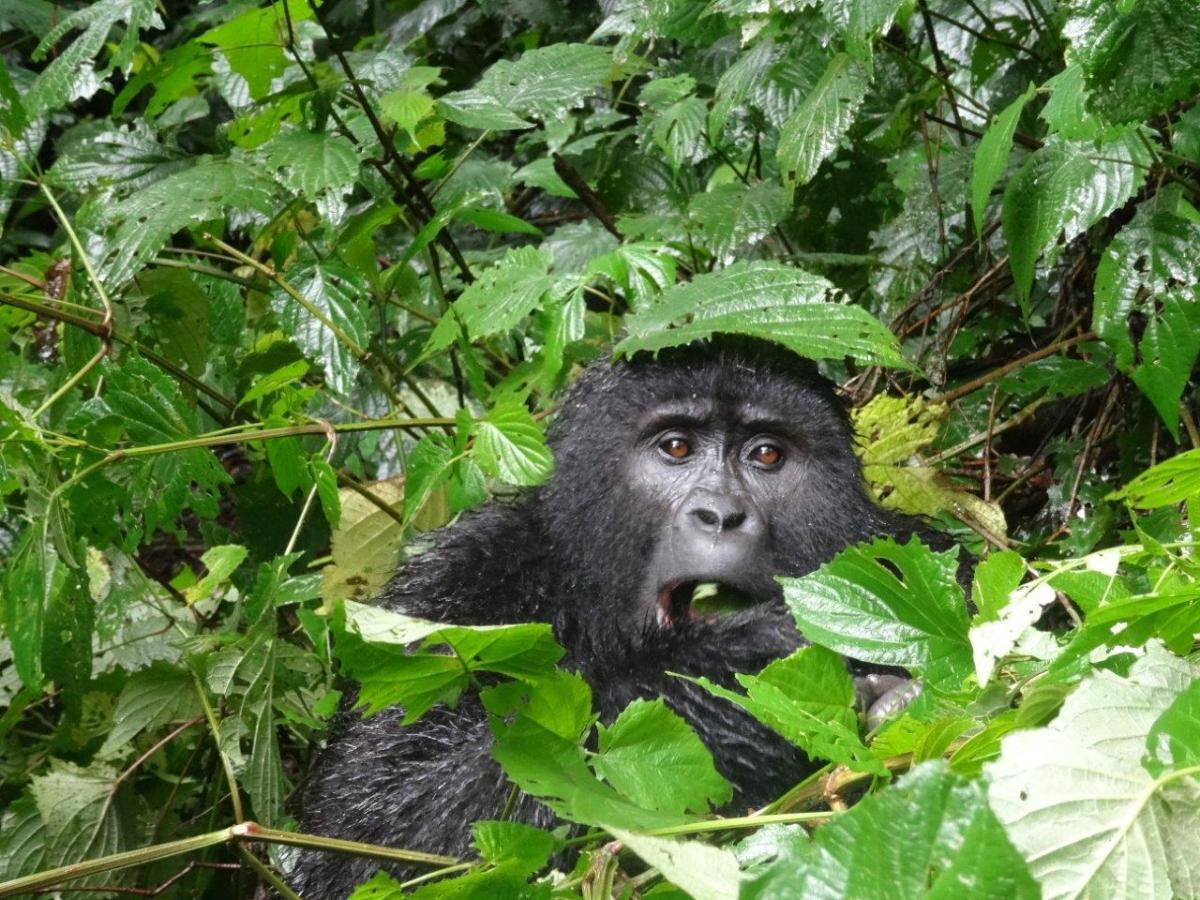 Eating gorilla. Gorilla trekking in Bwindi. Ruhija, Uganda.