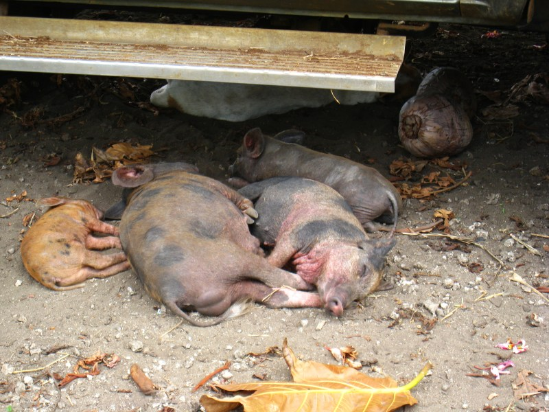 Pigs sleeping under a car in the heat of the day.