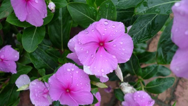 P1020754 Flowers after Rain