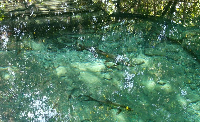 DSC04872 Big Fish in Cenote