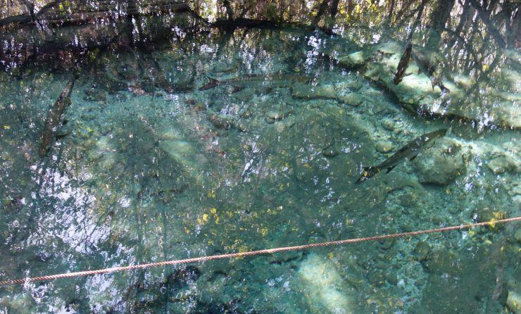DSC04878 3 Big Fish in Cenote
