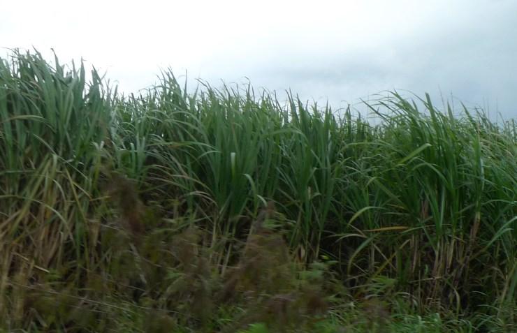 P1070400 Sugarcane