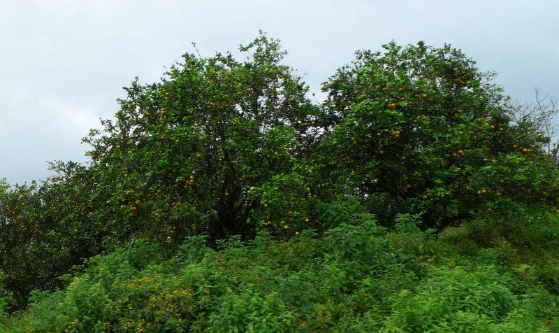 P1070927 Orange Trees~