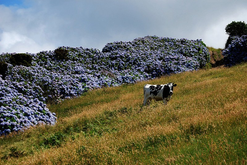 Hyd Cow