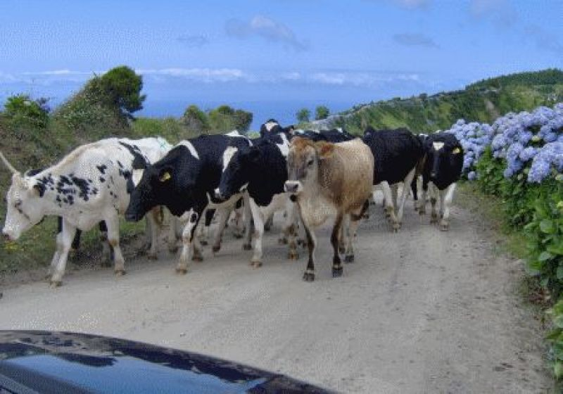 Cows On Road
