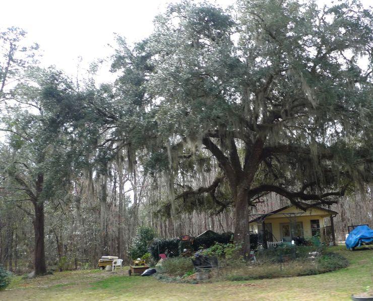 P1110643 Huge Oak Trees