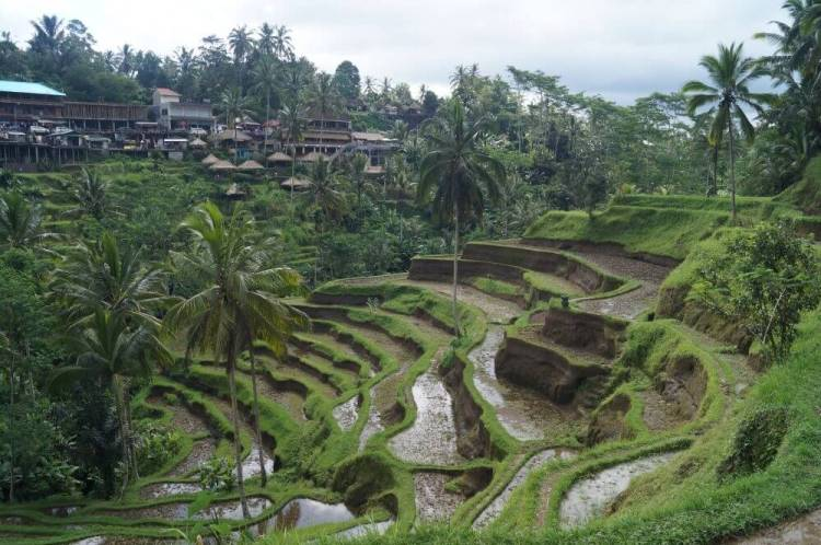 Indonesië Rijstvelden