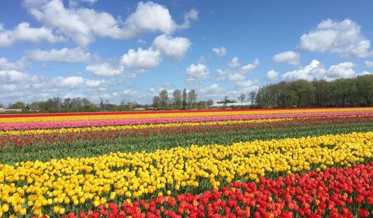 Bloemenvelden Lisse Tulpen