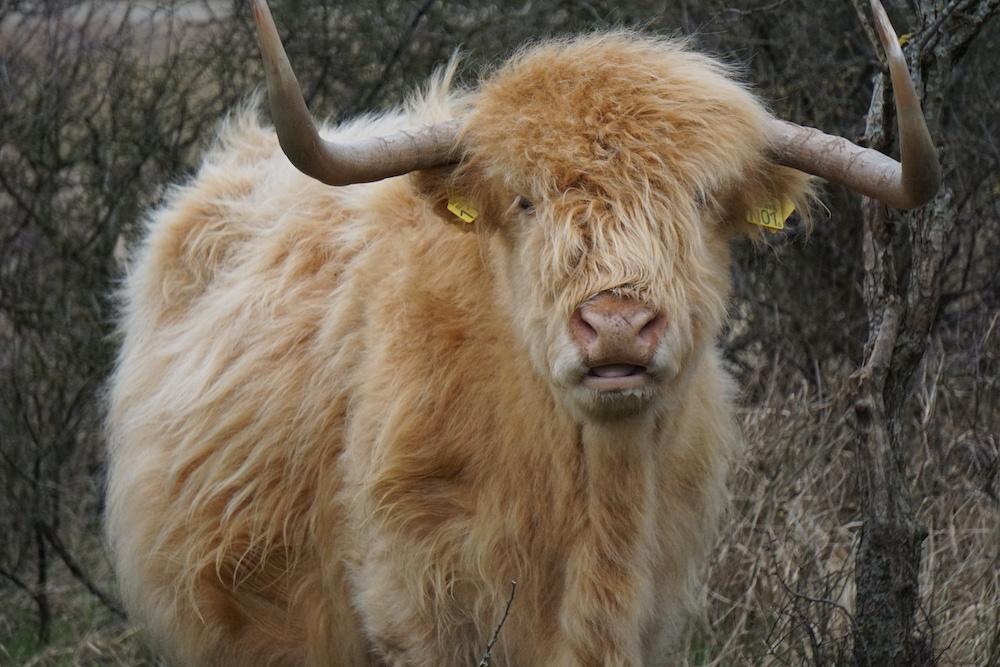 Schotse Hooglander Lentevreugd