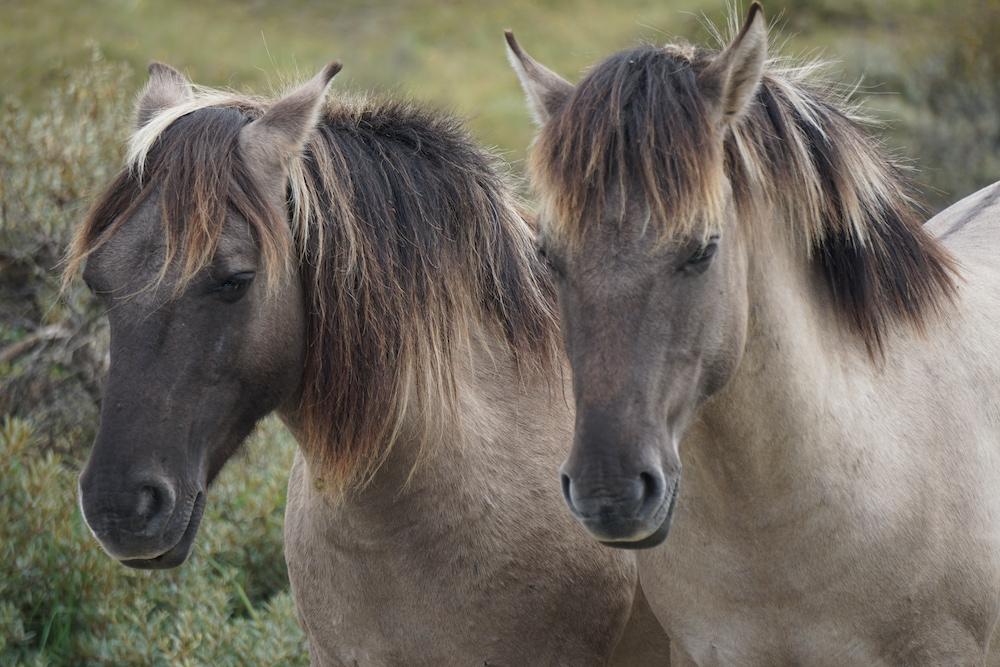 Konikpaarden Nationaal Park Zuid Kennemerland