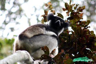 ¿qué es un lémur? Indri