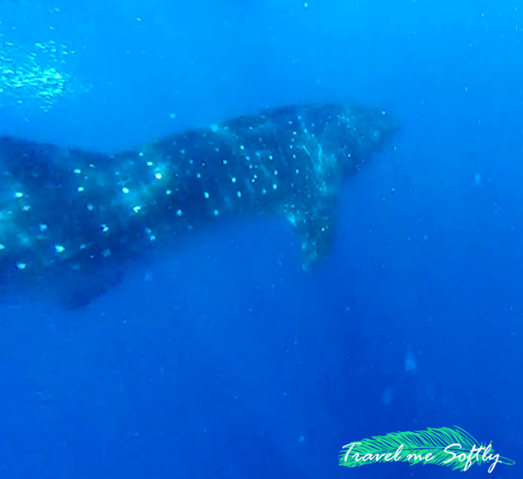 el tiburón ballena turismo de filipinas